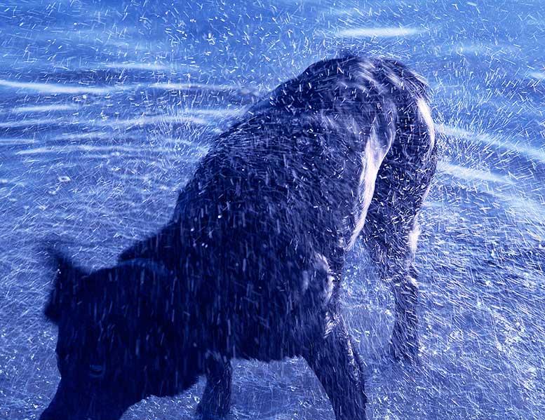 DaveGillyGilstein-SASHA-BLUE-DOG